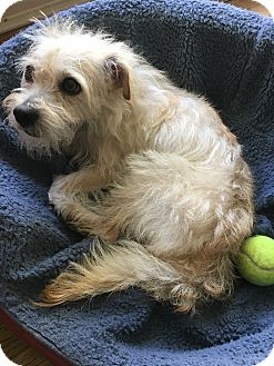 Terrier (Unknown Type, Small) Mix Dog for adoption in Los Angeles, California - Larry