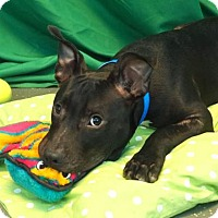 Pit Bull Terrier Mix Puppy for adoption in New Orleans, Louisiana - Jake