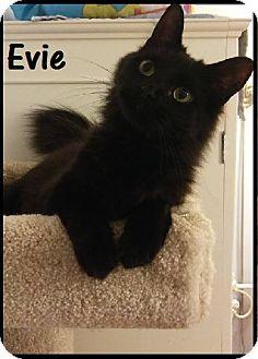 Domestic Mediumhair Cat for adoption in Covington, Kentucky - Evie