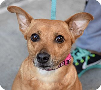 Dachshund/Chihuahua Mix Dog for adoption in New York, New York - Bubbles!