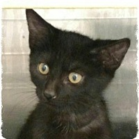 Domestic Shorthair Kitten for adoption in Pueblo West, Colorado - Edsel