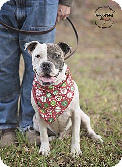 American Bulldog/Boxer Mix Dog for adoption in Houston, Texas - Rufus