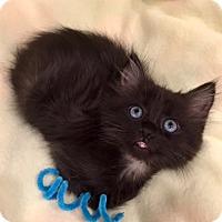 Adopt A Pet :: Danke - Addison, IL