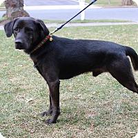 Labrador Retriever Mix Dog for adoption in GREENLAWN, New York - Blizzard