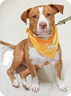 American Pit Bull Terrier/Hound (Unknown Type) Mix Dog for adoption in Fredericksburg, Virginia - RayRay (ADOPTION PENDING)