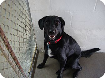 Labrador Retriever Mix Dog for adoption in Winter Haven, Florida - Boomer