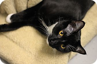 Domestic Shorthair Cat for adoption in Mission, British Columbia - Tuxie