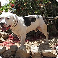 Pit Bull Terrier Mix Dog for adoption in Toluca Lake, California - Bart