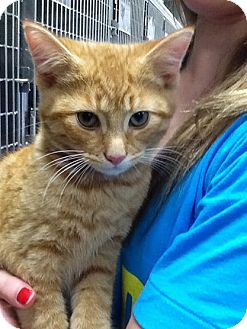 Domestic Shorthair Kitten for adoption in Webster, Massachusetts - Eddie