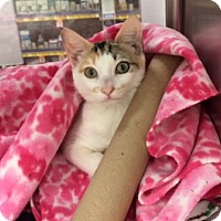 Domestic Shorthair Kitten for adoption in Houston, Texas - Serena Joy