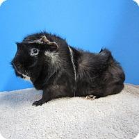 Adopt A Pet :: Gizmo - Aurora, CO