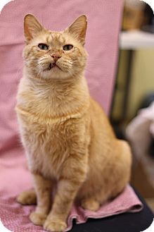 Domestic Shorthair Cat for adoption in Chicago, Illinois - Jeremiah