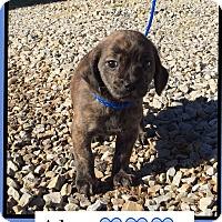 Adopt A Pet :: Alex (Pom) - Harrisonburg, VA