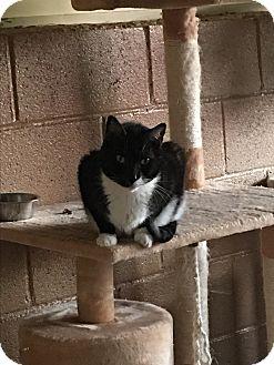 Domestic Mediumhair Cat for adoption in Goshen, New York - Monkey