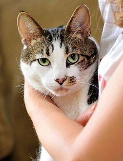 Domestic Shorthair Cat for adoption in San Francisco, California - Loving Louie
