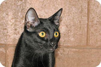 Domestic Shorthair Cat for adoption in Ruidoso, New Mexico - Sasha