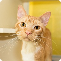 Domestic Shorthair Cat for adoption in Seville, Ohio - Dr. Dre