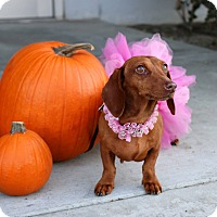 Adopt A Pet :: Boo - South El Monte, CA