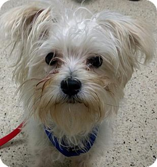 Maltese/Terrier (Unknown Type, Medium) Mix Puppy for adoption in Hewitt, New Jersey - Walker Adoption Pending Congrats Stackhouse Family