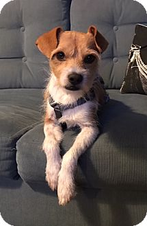 Jack Russell Terrier Mix Dog for adoption in Los Angeles, California - BACCHUS