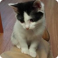 Domestic Shorthair Kitten for adoption in Fullerton, California - Doodle Bug