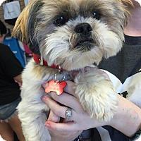 Adopt A Pet :: Lexi - Chino Hills - Chino Hills, CA