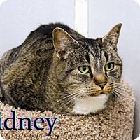 Adopt A Pet :: Sidney - Hamilton, MT