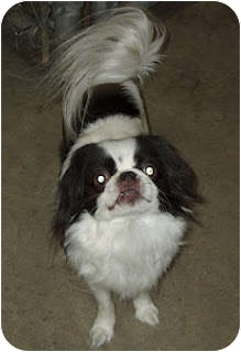 Japanese Chin Dog for adoption in Richmond, Virginia - Yoshi