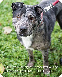 harley adopted dog somerset pa australian shepherd