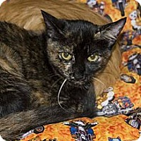 Adopt A Pet :: Tortie - New Port Richey, FL