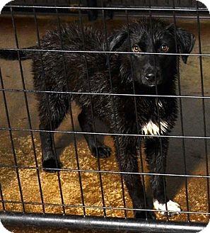 Border Collie/Labrador Retriever Mix Puppy for adoption in Wright City, Missouri - Cadence