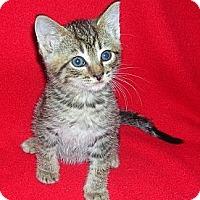 Adopt A Pet :: Rez Kitten #1 - Yakima, WA