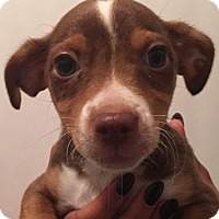 Adopt A Pet :: Thumper - Orlando, FL