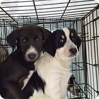 Adopt A Pet :: Puppies - Charlestown, RI