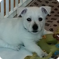 Adopt A Pet :: Ollie - Omaha, NE