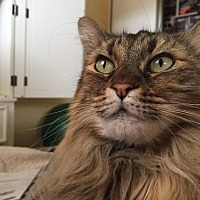 Maine Coon Cat for adoption in HAYWARD, California - CA - Bella (CP)