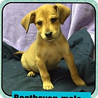 Adopt A Pet :: Beethoven(POM CR) - Harrisonburg, VA
