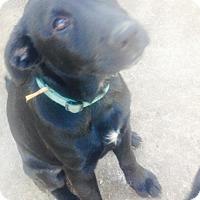 Adopt A Pet :: A356007/6  Ivy - San Antonio, TX