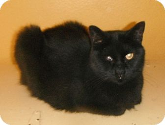 Bombay Cat for adoption in Houston, Texas - Tosha (special needs)