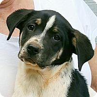 Adopt A Pet :: Honey Bear - Greenville, SC