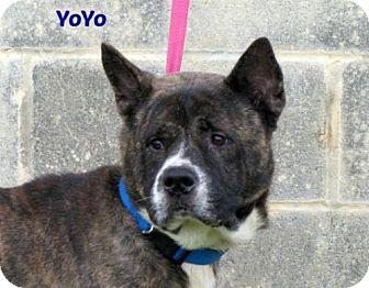 Akita Mix Dog for adoption in Lake Jackson, Texas - Yoyo