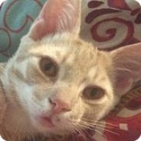 Hemingway/Polydactyl Cat for adoption in New York, New York - Felix