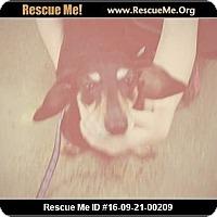 Dachshund Dog for adoption in Madison, Tennessee - Daffney - snuggly
