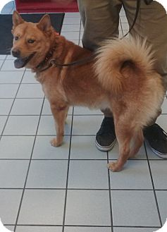 Finnish Spitz/Shiba Inu Mix Dog for adoption in Sacramento, California - Harley