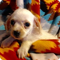Yorkie, Yorkshire Terrier/Pomeranian Mix Puppy for adoption in Colton, California - !   3 Ashley