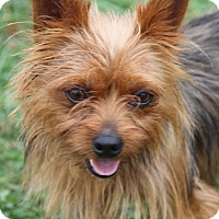 Yorkie, Yorkshire Terrier Mix Dog for adoption in Marietta, Ohio - Yoda (Neutered)