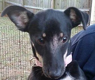 Chihuahua/Dachshund Mix Puppy for adoption in Newnan, Georgia - Sue Ellen