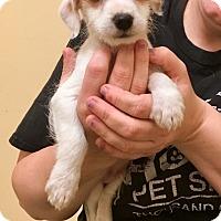 Adopt A Pet :: Butterfinger - Thousand Oaks, CA
