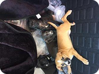 Labrador Retriever/Terrier (Unknown Type, Medium) Mix Puppy for adoption in Dana Point, California - Female Lab/Terrier Puppies!