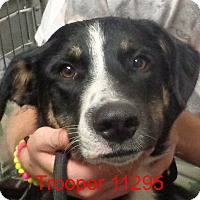 Anatolian Shepherd/Belgian Tervuren Mix Dog for adoption in baltimore, Maryland - Trooper